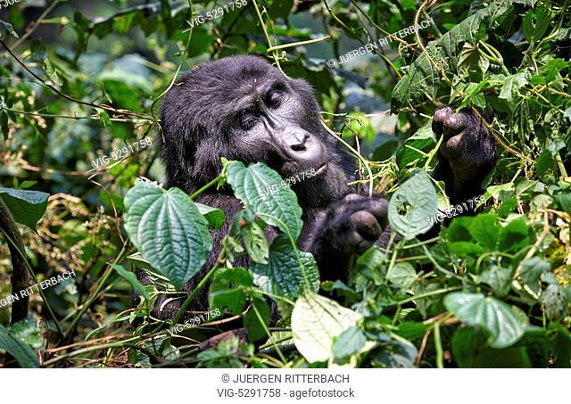 UGANDA, BUHOMA, 17.02.2015, mountain gorilla - Buhoma, Uganda, 17/02/2015