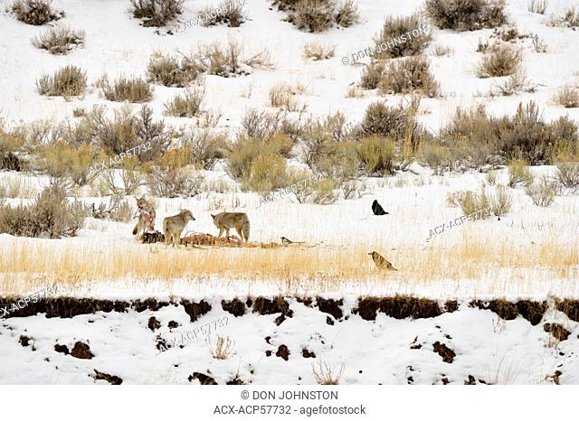 Coyote Canis latrans Feeding on elk carcass, killed by wolves, Yellowstone NP, Wyoming, USA