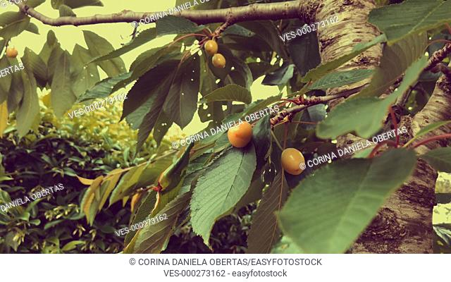 Branches with unripe cherries in a cherry tree. Footage has an artistic orange filter applied