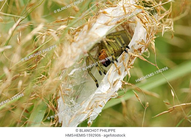 France, Morbihan, Araneae, Miturgidae, Yellow sac spider (Chirachantium punctarium), female in its silky lodge