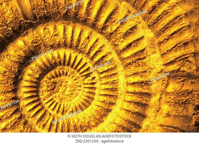 Ammonite fossil close up