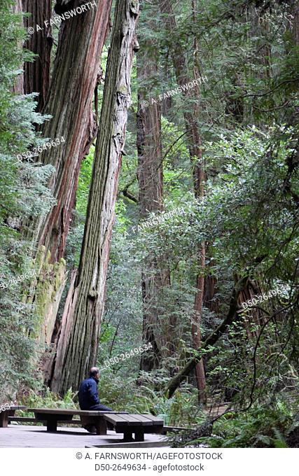 SAN FRANCISCO, CALIFORNIA USA Muir Woods Redwoods