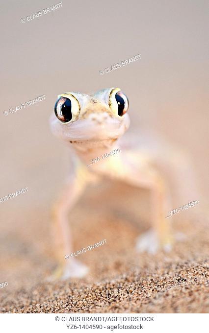 Namib Sand Gecko (Pachydactylus rangei) on sand dunes near Swakopmund, Namibia