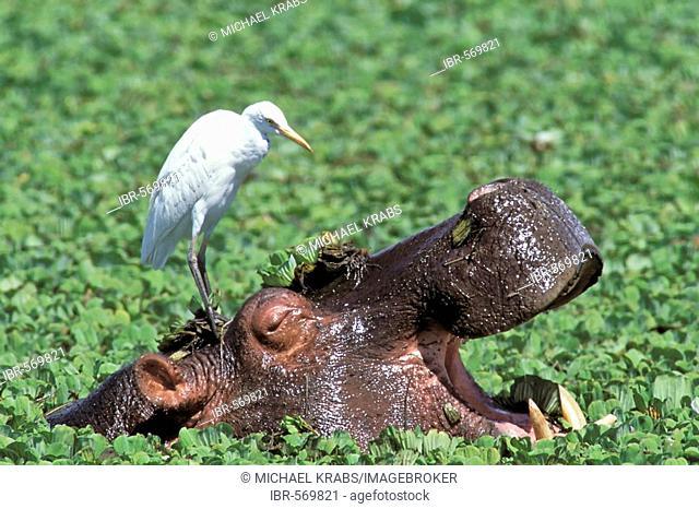 Hippopotamus, Flusspferd, Hippopotamus amphibius , Masai Mara Wildlife Reservation, Kenya, Africa