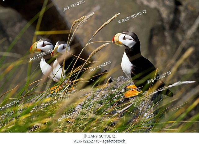 Three Horned puffins (Fratercula corniculata) perched on a boulder with grasses in the foreground, Walrus Islands State Game Sanctuary, Round Island