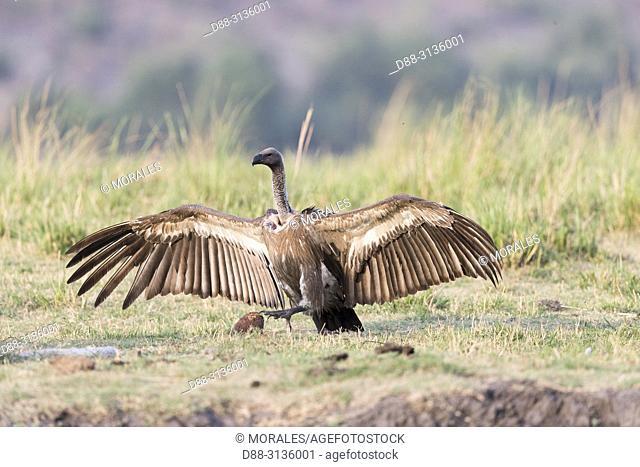 Africa, Southern Africa, Bostwana, Chobe i National Park, Chobe river, White-backed vulture (Gyps africanus), adult