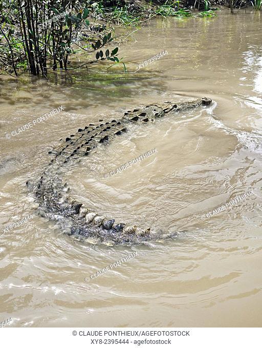 American Crocodile, Guanacaste, Costa-Rica