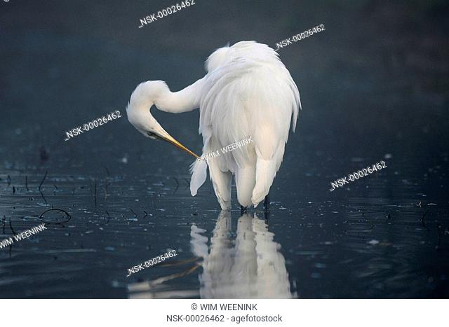 Great Egret (Ardea alba) preening its feathers while standing in the water, The Netherlands
