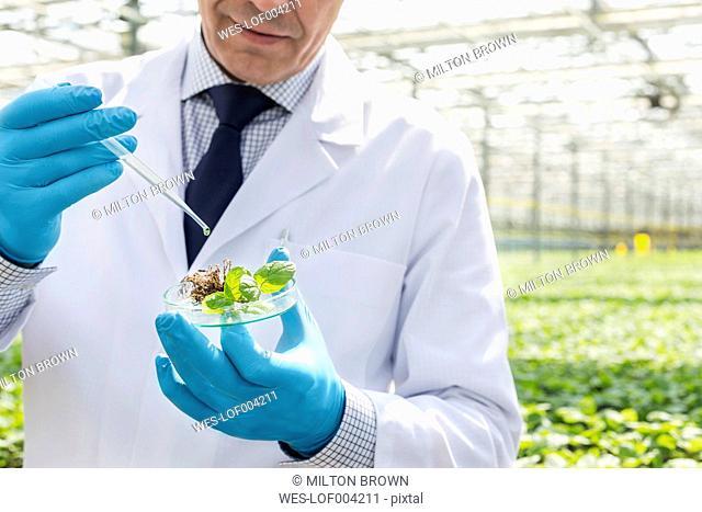 Scientist in greenhouse pipetting plant in petri dish