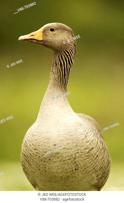 Greylag Goose (Anser anser), Washington Wildfowl and Wetlands Trust, Tyne and Wear, England
