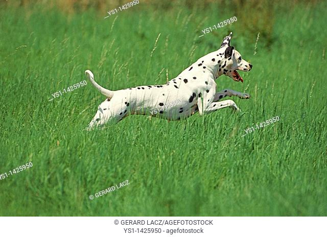 DALMATIAN DOG, ADULT RUNNING THROUGH LONG GRASS