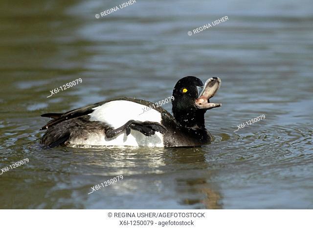 Tufted duck Aythya fuligula, drake preening its plumage on lake, Germany