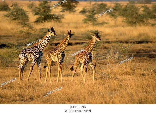Young giraffes (Giraffa camelopardalis), Serengeti National Park, Tanzania, East Africa, Africa