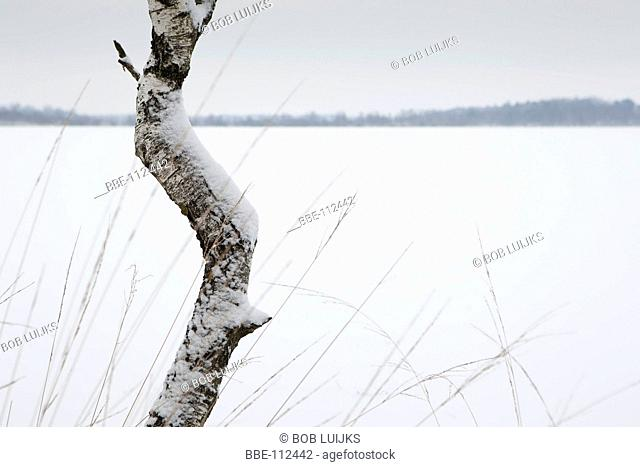 Birch at the shore of 't Elfde, The Netherlands