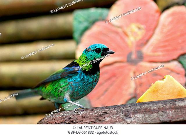 Bird, Seven-colors Male, North Coast, Camburi, São Paulo, Brazil
