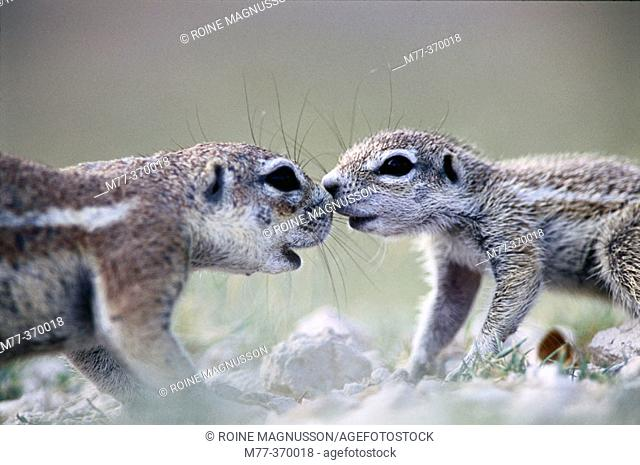 Mother and baby ground squirrel (Xerus inauris). Etosha National Park. Namibia