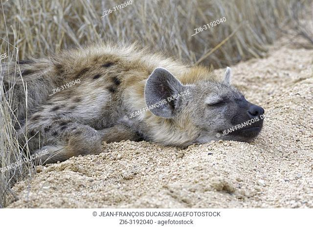 Spotted hyena or Laughing hyena (Crocuta crocuta) cub, sleeping on the edge of a dirt road, Kruger National Park, South Africa, Africa