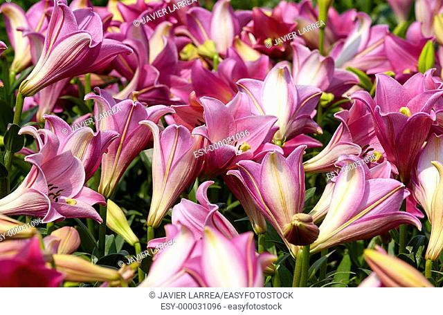 Lilies flower field. Haarlem. Netherlands