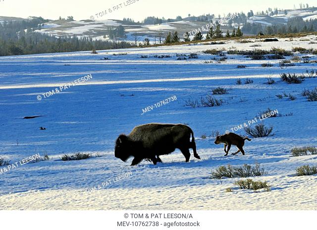 American Bison - cow with very young calf trudge across snow covered grasslands in early spring (Bison bison)