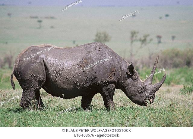 Black Rhinoceros (Diceros bicornis). Masai Mara, Kenya