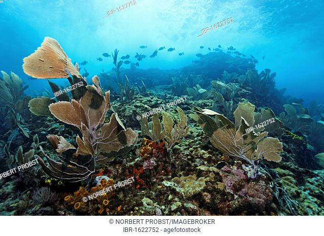 Coral reef in strong waves and currents, Venus sea fan (Gorgonia flabellum), shoal of fish, Bermuda-rudder fish (Kyphosus sectatrix / incisor), Little Tobago