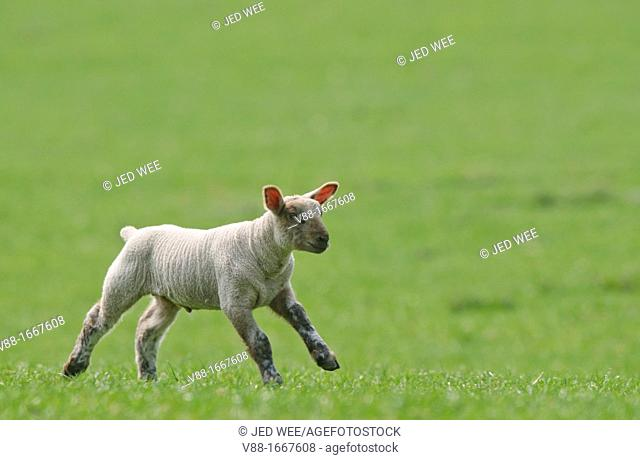 A young lamb running in the field, domestic sheep, Ovis aries in a field in North Yorkshire, England