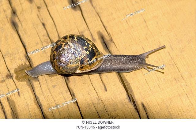 Close-up of a fully extended garden snail Helix aspersa crawling over a wooden bench in a Norfolk garden