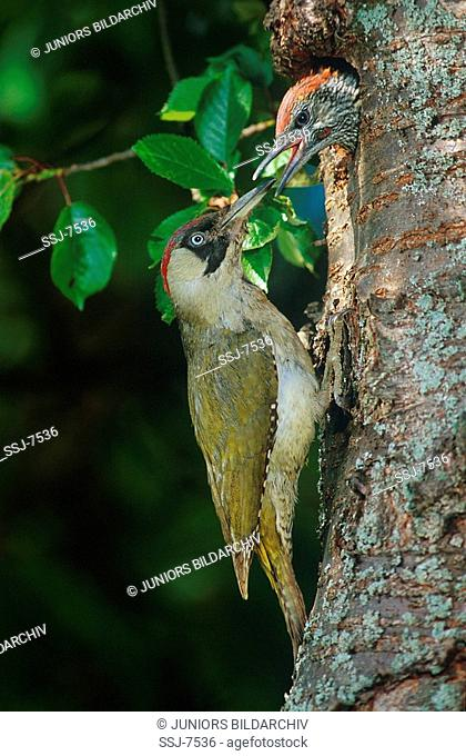picus viridis / green woodpecker