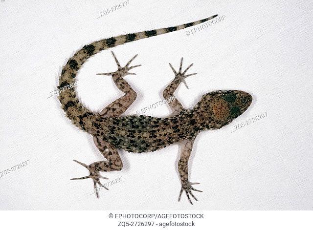 A ground dwelling gecko found in India in western Madhya Pradesh, parts of Rajasthan and Gujarat. Gymnodactylus Scaber