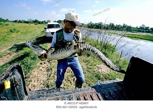 Man with catched American Alligator Texas USA Alligator mississippiensis