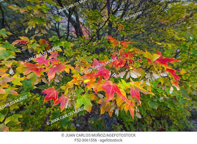 Maple, Forest in autumn, Eureka, Juab County, Utah, Usa, America