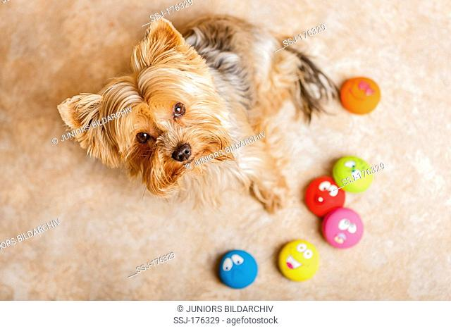 Yorkshire Terrier sitting next to multicoloured toys on a carpet, looking up