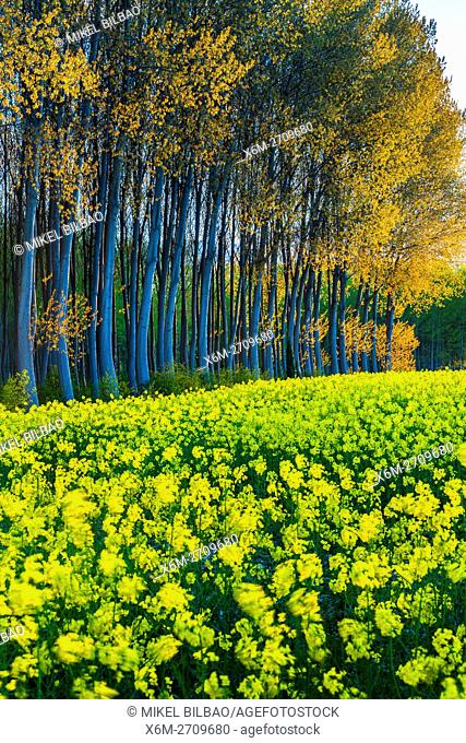 Rapeseed crop (Brassica napus) and poplar (Populus sp. ) grove. Murieta village. Estella Comarca, Navarre, Spain, Europe