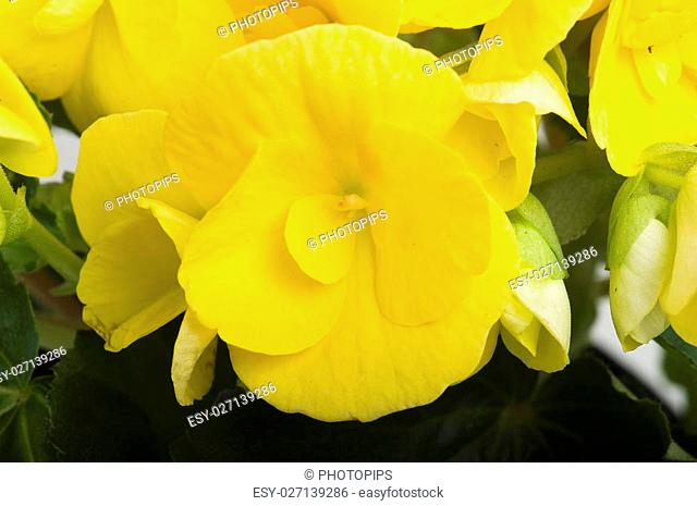 yellow begonia flowers closeup in the study