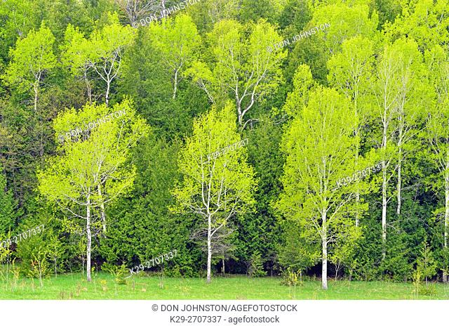 Spring foliage in aspen and cedar trees at the edge of a pasture, Green Bay Road, near Sheguiandah, Manitoulin Island, Ontario, Canada