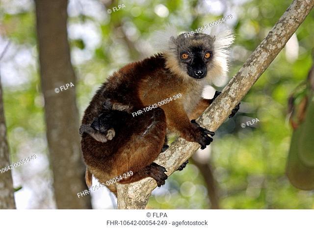 Black Lemur Lemur macaco adult female with baby, in tree, Nosy Komba, Madagascar