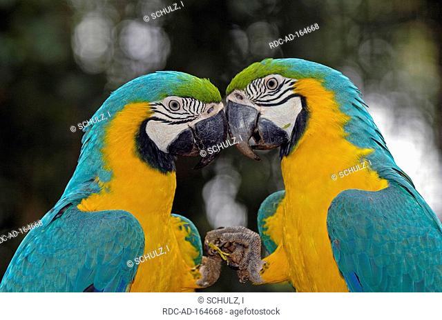 Blue-and-Yellow Macaws Pantanal Brazil Ara ararauna side