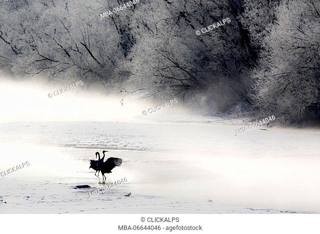 Red crowned cranes from Otowa bridge, Tsurui, Hokkaido, Japan