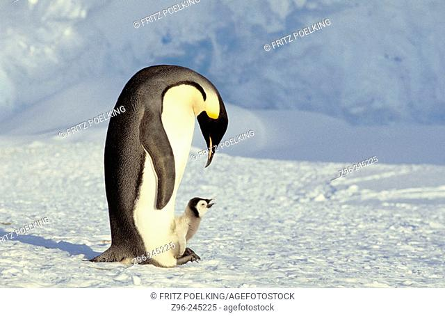Emperor Penguin (Aptenodytes forsteri), adult and chick. Dawson-Lambton glacier, Antarctica