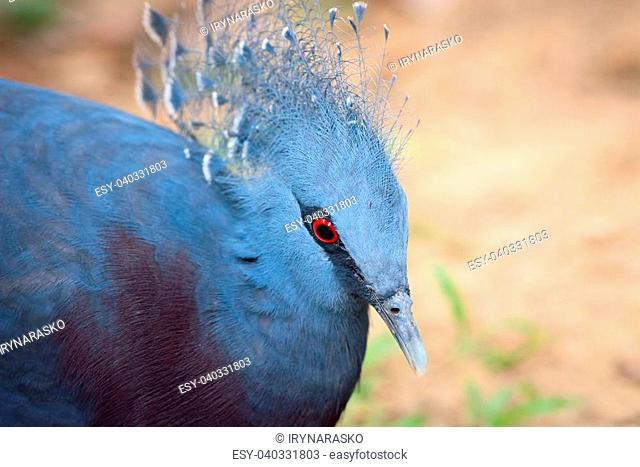 Victoria Crowned Pigeon (Goura victoria) bird