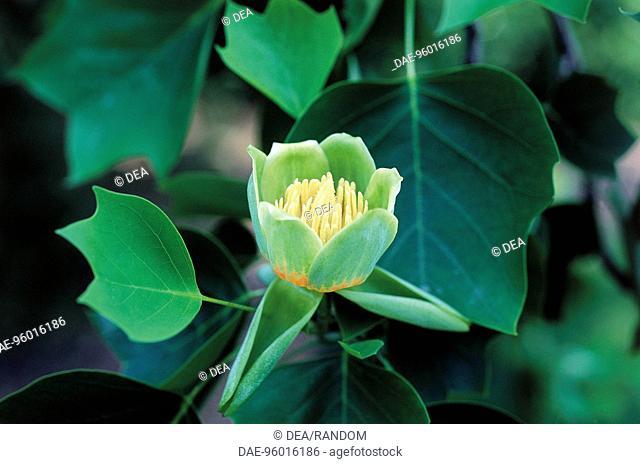 Botany - Magnoliaceae - Tulip tree (Liriodendron tulipifera) flower, close-up
