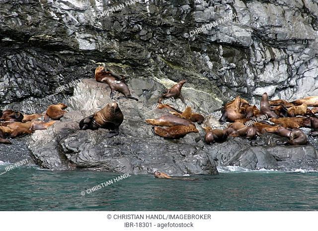 Stellar Sea Lions eumetopias jubatus on the beach in the Prince William sound Alaska USA