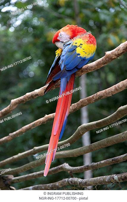 Scarlet Macaw (Ara macao) perching on a wooden fence, Copan, Copan Ruinas, Copan Department, Honduras
