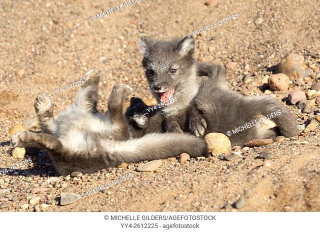 Arctic fox, Alopex lagopus, pups/kits, 7 weeks old, circumpolar distribution across northern Eurasia and North America