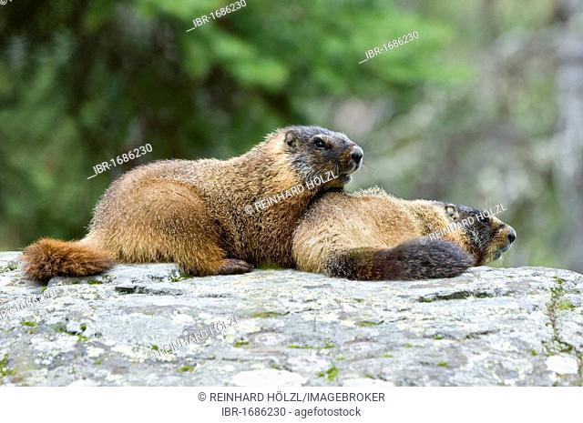 Yellow-belly Marmot (Marmota flaviventris), Yellowstone National Park, Wyoming, USA, North America