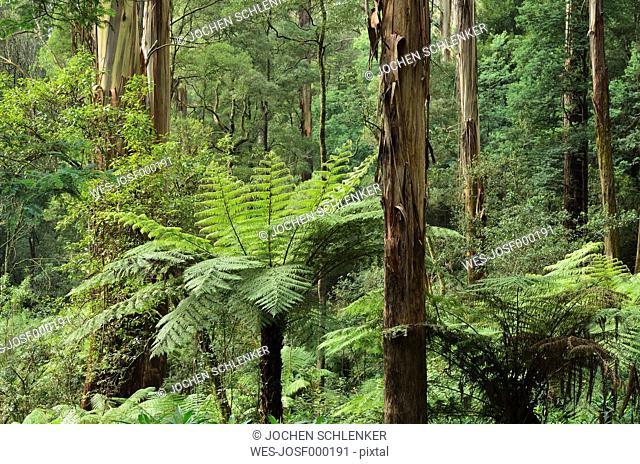 Australia, Victoria, Dandenong Ranges, Dandenong Ranges National Park, View of alfred nicholas garden