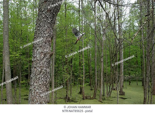 Woodpecker flying in forest