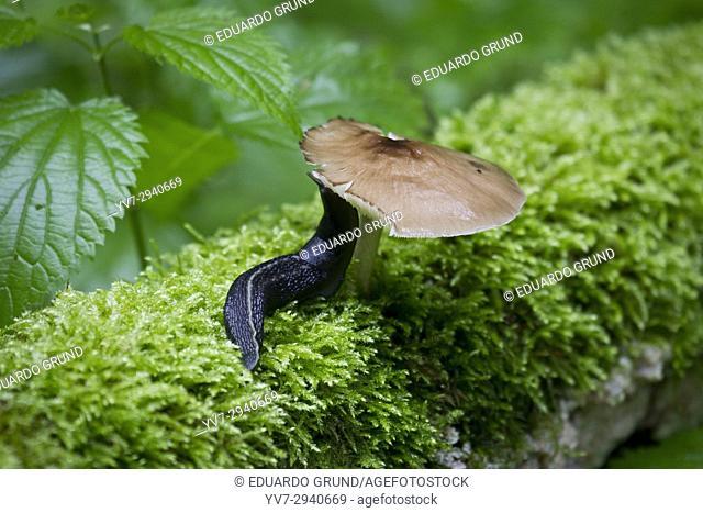 Mushrooms in the forest. Bialowieza National Park. Bialowieza, Podlasie, Poland, Europe