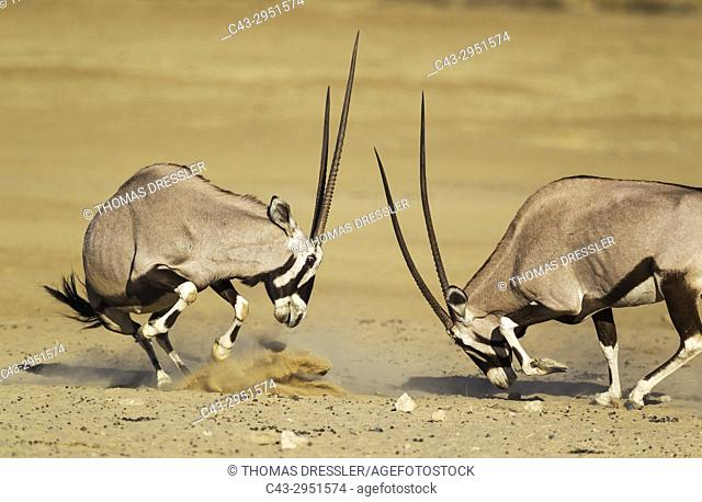Gemsbok (Oryx gazella). Fighting females. Kalahari Desert, Kgalagadi Transfrontier Park, South Africa