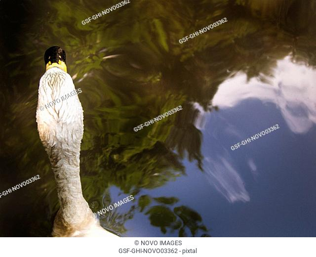 High Angle Rear View of Swan on Pond